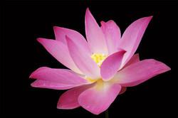 pink-lotus-1396744-1279x852.jpg