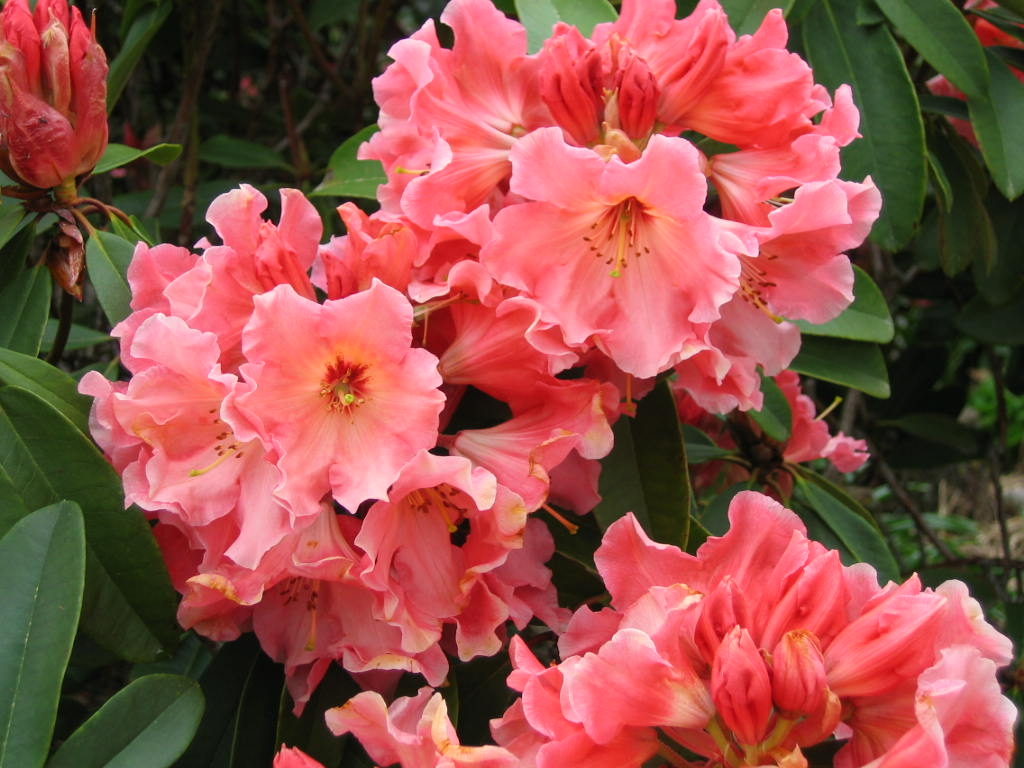 Rhododendron Tahitian Dawn