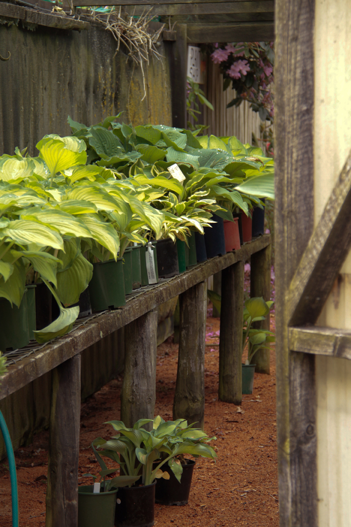 Hosta varieties on sale now