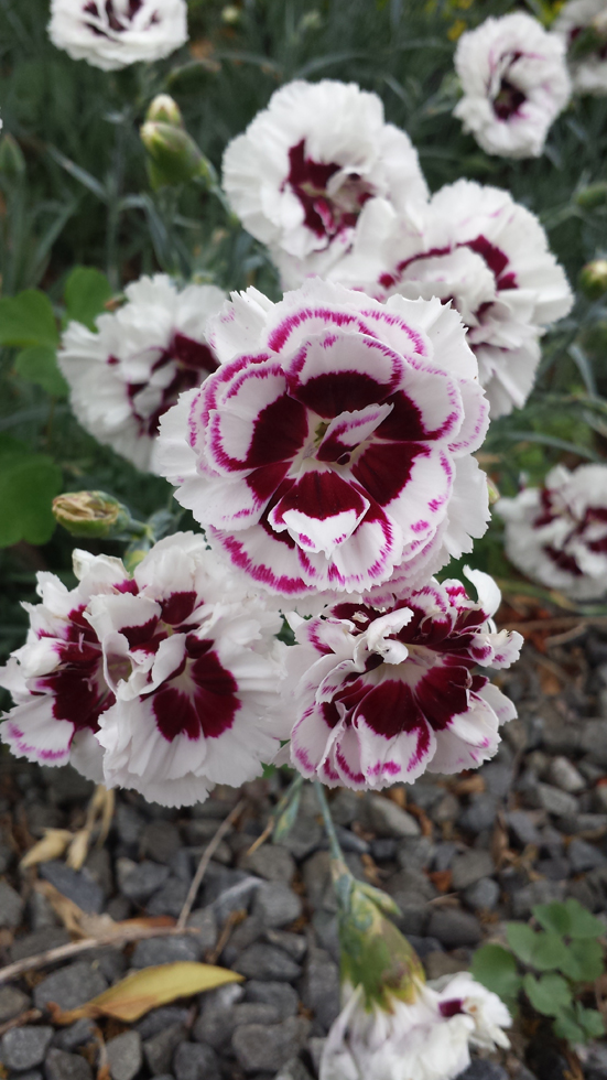 Dianthus Dads Favourite