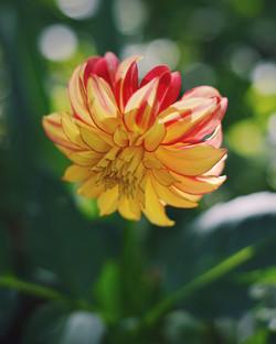 Flame colour dahlia