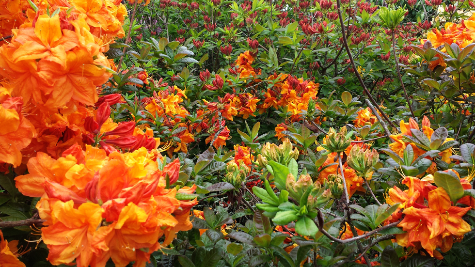 Azalea Ilam Orange