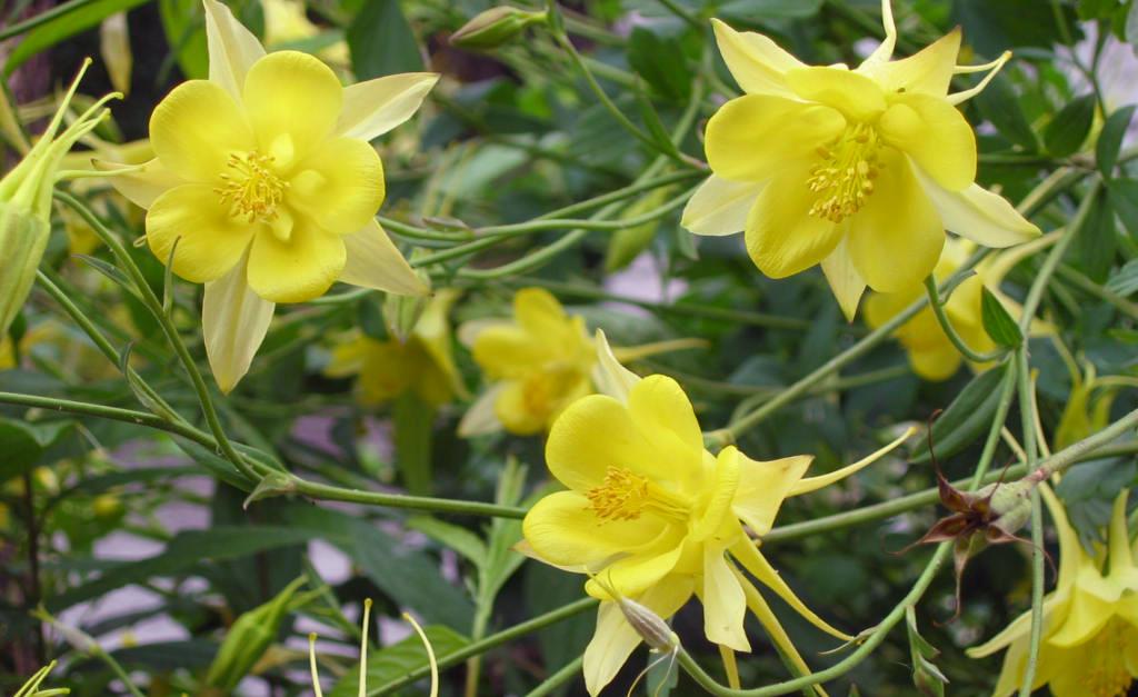 Aquilegia Yellow Star