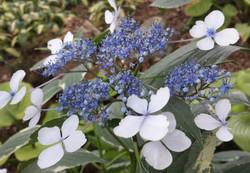 Hydrangea Lacecap