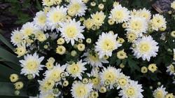 Chrysanthemum in white garden