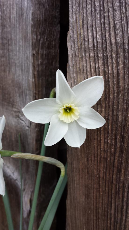 Narcissus Xit