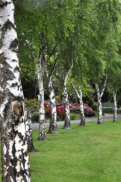 Silver birch lined driveway