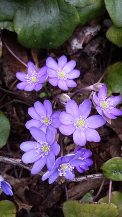Hepatica nobilis blue
