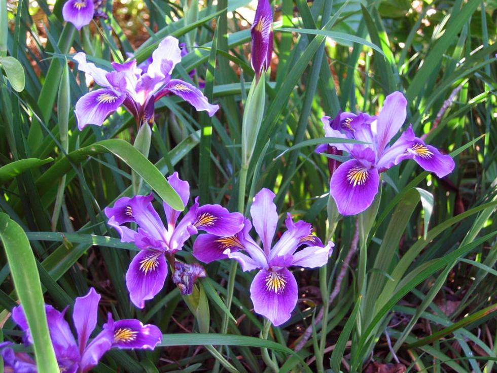 Iris Innominata Blue Purple