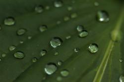 Dew drops on foliage