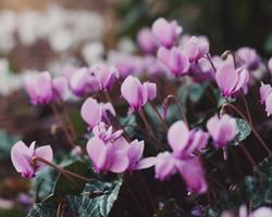 Cyclamen autumn flowering