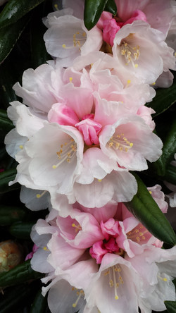 Rhododendron Yak FCC