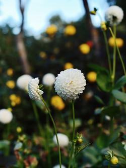 White pom pom dahlia