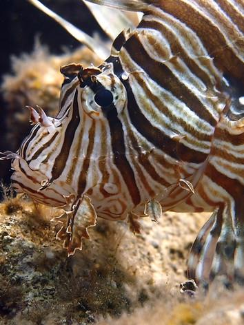 Lion fish (poisson lion ou rascasse volante)
