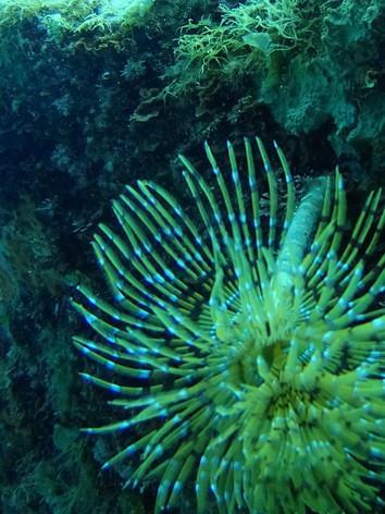 Sabella (les sabelles) est un genre de vers annélides polychètes marins appartenant à la famille des Sabellidae.