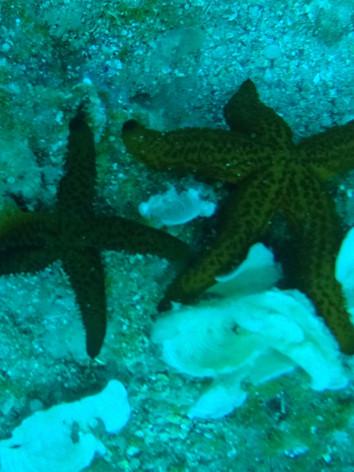 étoile de mer/Starfish