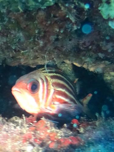 Sargocentron diadema ; poisson écureuil/squirrelfish