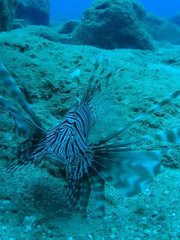 La Rascasse volante (Pterois volitans)/Lion Fish