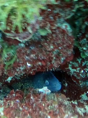 murene/moray eel rethymno