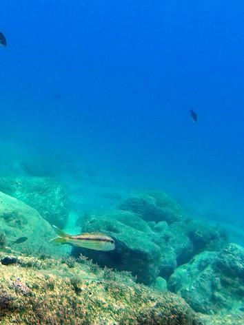 Le rouget-barbet de roche (Mullus surmuletus) est une espèce de poissons marins, carnivore mais se nourrissant surtout sur le fond1,2, de la famille des Mullidés.