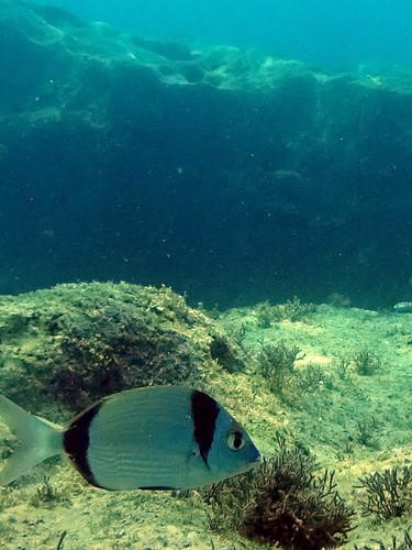 20 animaux (et poissons) à observer en masque / tuba en Méditerranée  FishiBlog > Plongée Dernière mise à jour : 05/07/2019 La période estivale sonne pour beaucoup l'heure des vacances à la mer et des baignades dans les eaux réchauffées des côtes méditerranéennes. Bien que moins diversifiée qu'en zone tropicale, la faune marine de Méditerranée n'en reste pas moins très riche. Elle est facilement accessible car peu dangereuse. Pour vous accompagner dans vos balades aquatiques, Fishipédia a dressé une liste d'espèces à découvrir simplement, avec votre masque et votre tuba.  La plupart des espèces présentées ici s'observent dans les zones rocheuses. De manière générale, nous vous conseillons de privilégier les criques et les baies, protégées du vent et des courants. L'eau y sera plus transparente mais également plus chaude.  Les espèces observées diffèrent en fonction de la période. L'été reste un moment privilégié pour observer juvéniles et adultes. Le printemps est propice pour repérer les parades et les pontes de certains poissons territoriaux comme les crénilabres.  Tous les animaux présentés dans cet article ont été photographiés en masque et tuba, à une profondeur inférieur à 3 mètres. Certains poissons nécessitent un peu de patience pour être bien identifiés.  Pour augmenter vos chances de découvrir la biodiversité marine, vous devez parcourir des environnements variés (type de rocher, type de végétation, eaux stagnantes ou agitées…) et les observer à différentes profondeurs. N'hésitez pas à mettre votre masque à moins d'un mètre d'eau, vous serez surpris d'y découvrir des espèces fantastiques, comme la blennie sphynx !  Si vous en avez la possibilité, rapprochez-vous des massifs de posidonie. Suivez les « zones mixtes », c'est à dire les frontières posidonie / rochers, posidonie / sable, sable / rochers. N'oubliez pas de regarder, sans y mettre les mains, les fissures, les failles et les tombants des grandes roches. C'est dans ces lieux qu'on aperçoit les rasca