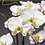 Thumbnail: Ορχιδέα phalaenopsis