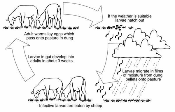 Sheep-graph.png