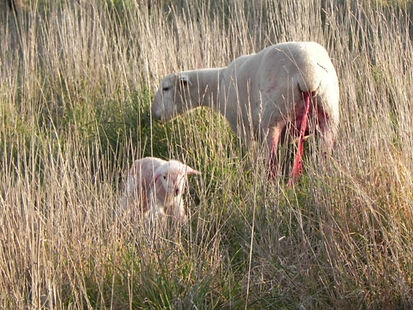 lambing-ewe-pasture-for-protection-and-n