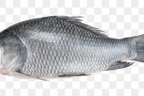 katla mach( লোকাল গোটা) 1.5-2 KG