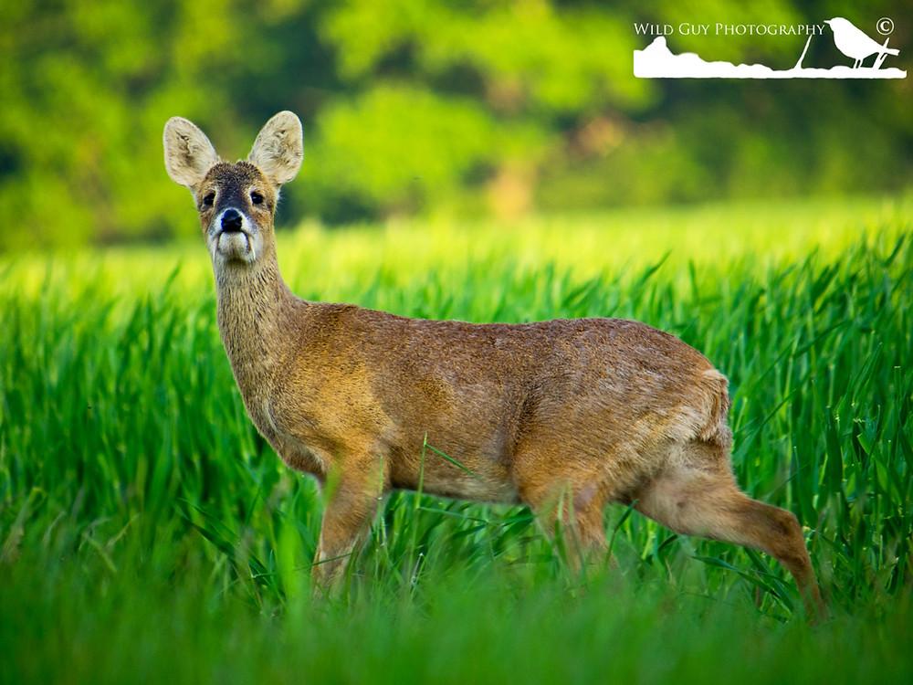 Chinese Water Deer buck