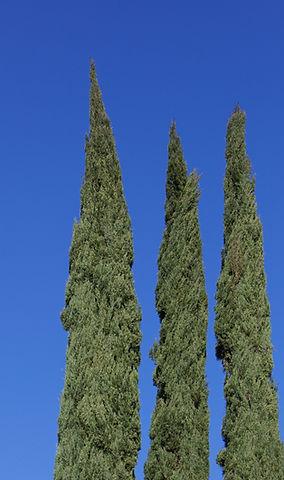 les trois cypres du Mas de Pampelonne