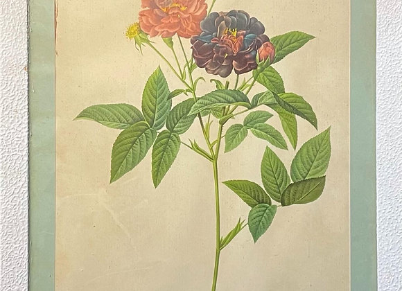 Print of 'Rosa Gallica Purpurea Velutina Parva' by Pierre Joseph Redouté (1759
