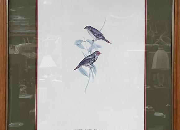 Beautiful Print of Hand Coloured Lithograph 'Amadina Ruficauda'