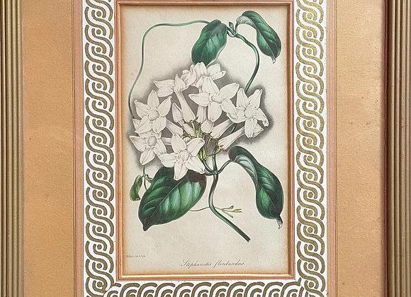 """S. Holden del & Lithograph """"Stephanotis floribundus"""" Lithograph"""