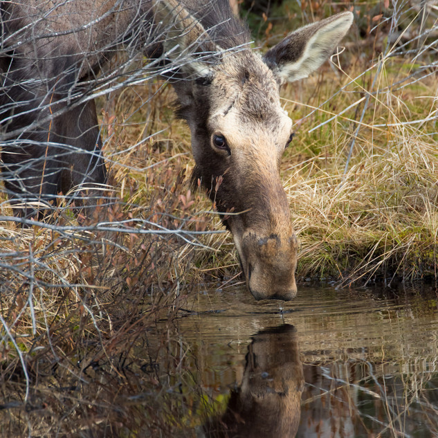 Reflection of a Yearling