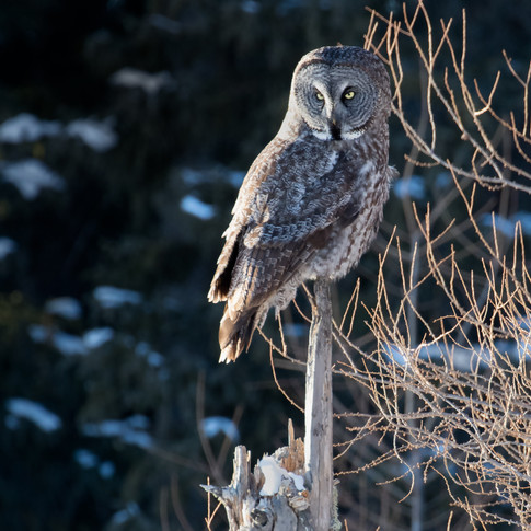 Great Gray in Manitoba