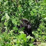 gorilla1_edited.jpg