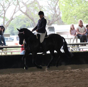 Wallbrook Gwenevere Reserve Champion Partbred Friesian under saddle 2012 QLD State Championships
