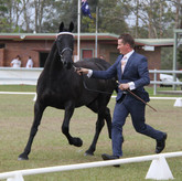 Wallbrook Gwenevere Champion Partbred Friesian Mare 2012 QLD State Championships