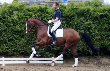 Fiderfurst was a Premium Licensed stallion at the 2011 Hanoverian licensing in Verden Germany