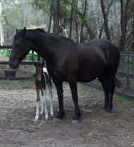 Wallbrook Gwenevere with first pinto foal 2013