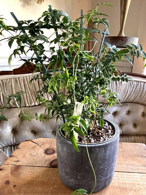 Flowering Jasmine Plant