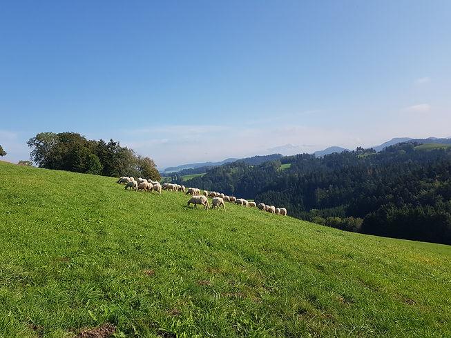 Schafe und Lämmer auf der Weide in Schmidrüti im Zürcher Oberland