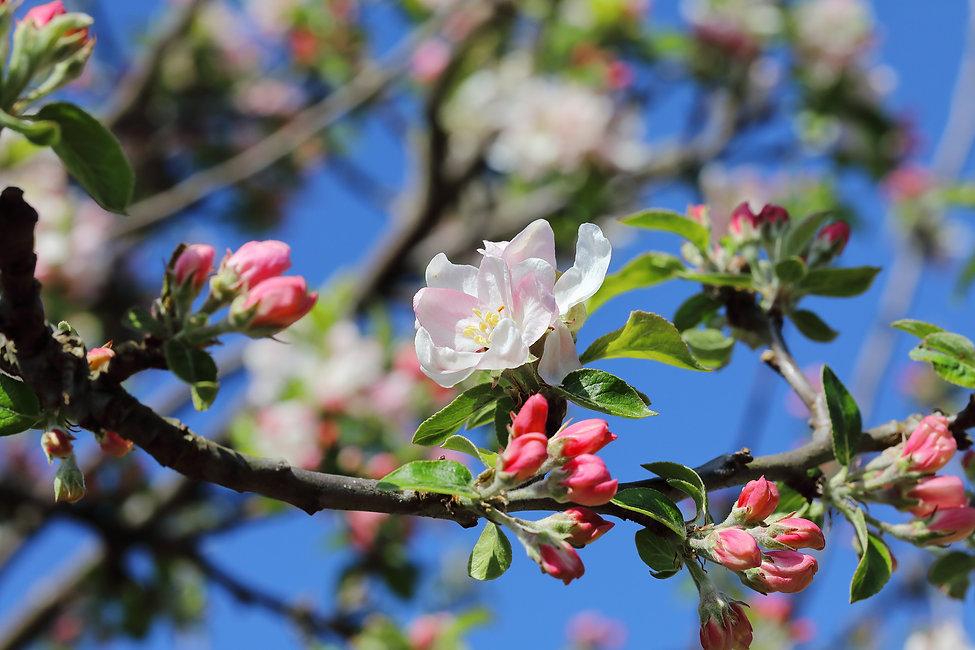 Apfelbaum Blüten.jpg