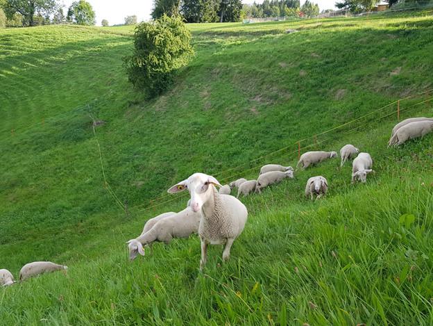 Schafe Lammfrom Schmidrüti