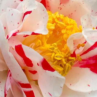 Delicate petals of love