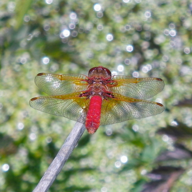 Father dragonfly