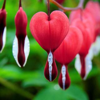Red bleeding hearts
