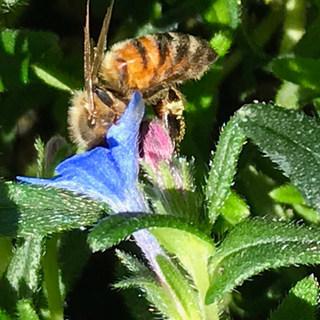 Honey sweet bee drinker