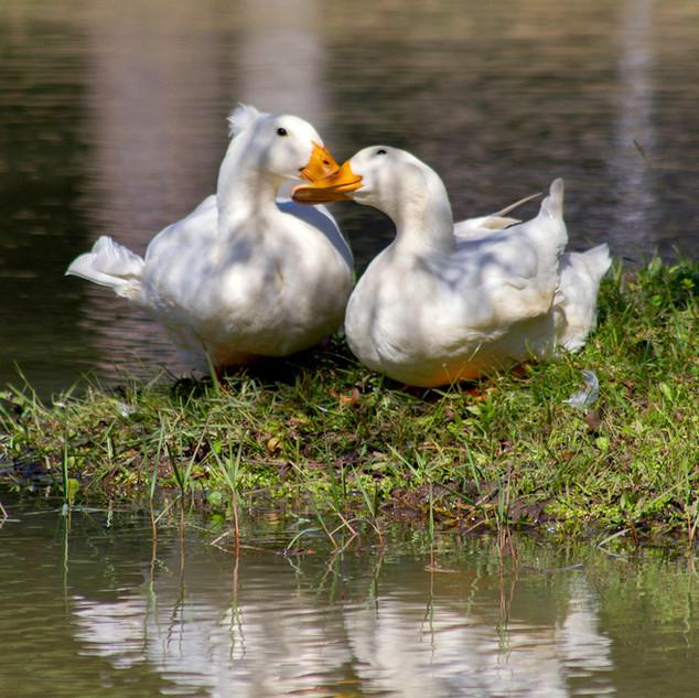 Ducks-OSRVPark-2.jpg